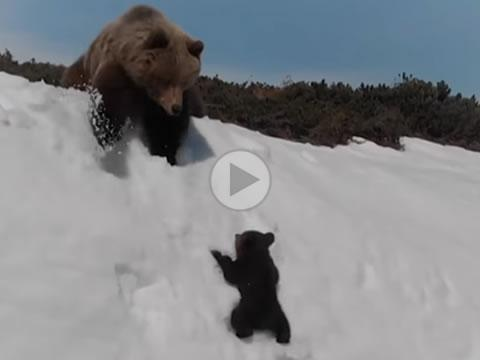 Bear Cub Trying To Reach Mama Bear
