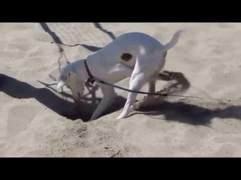 Dog Digging Up Sand At The Beach