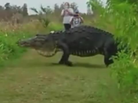Massive Alligator