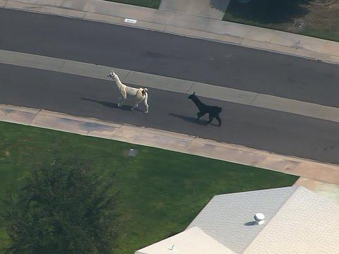 Llamas Run Loose