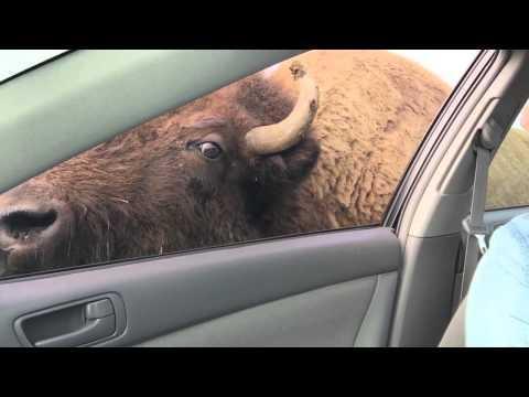 buffalo chasing a car for snacks