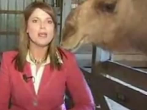 Camel grabs woman reporter's hair