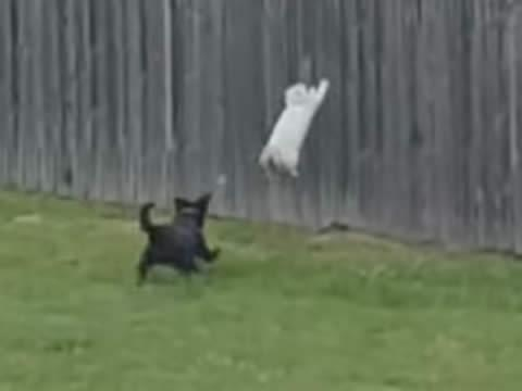Cat jumps over fence to get away from puppy