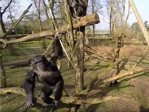 Chimp attacks drone
