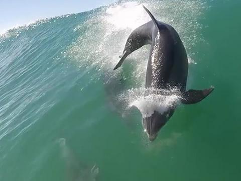 dolphin slams surfer