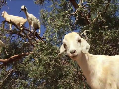 Goats climbing a tree