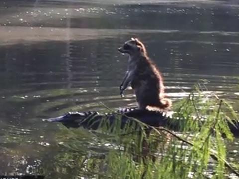 Raccoon standing on top of an Alligator