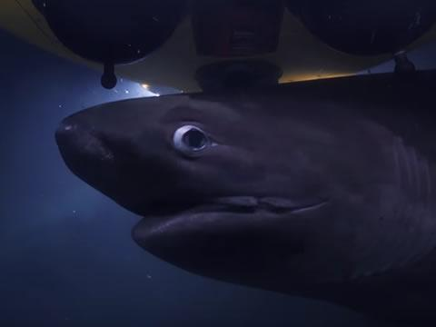 Sharks Attack Submarine