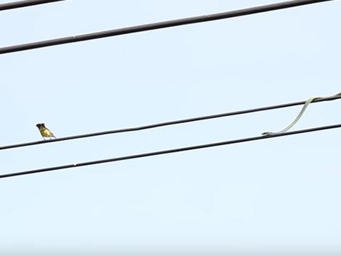 Snake on Electric Cable
