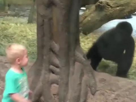 toddler and baby gorilla play peekaboo