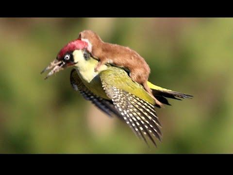 weasel riding on woodpecker's back