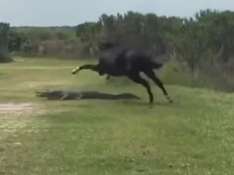 horse attacks alligator