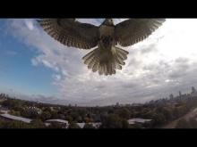 Hawk Attacking Drone.