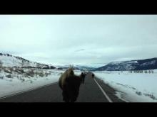 Bison Slams Into Parked SUV