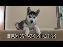 Cutest Husky Puppy