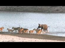 Young elephant survives attack by 14 Lions