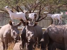 Rhinos and Goats