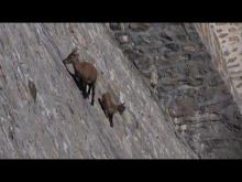 Goats climbing vertical wall and defying gravity