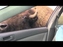 buffalo chasing a car for snacks