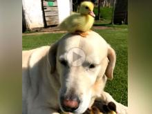 Dog Adopts Baby Ducklings