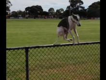 Dog's Amazing Jump Over The Fence