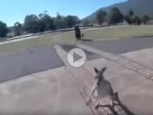kangaroo attacked paraglider