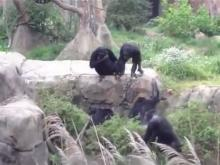 A helpless raccoon is attacked by a group of chimpanzees